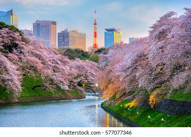 Chidorigafuchi park during the spring season this area is popular sakura spot at Tokyo, Japan.