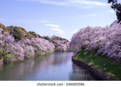 Chidorigafuchi park with full bloom sakura at Tokyo, Japan.