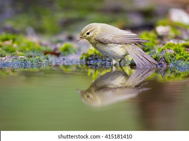 The Chiffchaff and her reflection