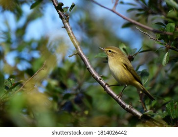 Chiffchaff perched on a branch in a hedgerow, Cornwall, UK