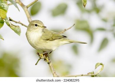 Chiffchaff / Phylloscopus collybita / in natural habitat