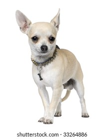 chihuahua (1 year old) in front of a white background