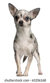 Chihuahua, 18 months old, standing in front of white background