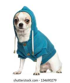 Chihuahua (2 years old) sitting and wearing a blue hoodie, isolated on white