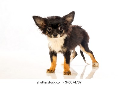 Chihuahua (3 months) isolated on white background