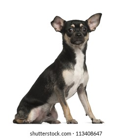 Chihuahua, 9 months old, sitting against white background
