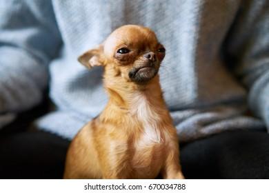 Chihuahua arrogant
