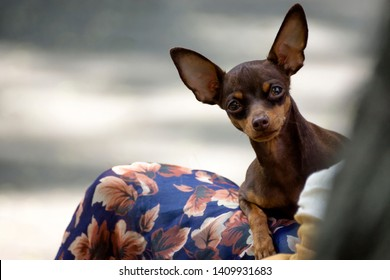 Chihuahua is a beautiful dog lying on the bed and licking his nose with his tongue. chihuahua and his tongue. chihuahua ate delicious food. chihuahua happy