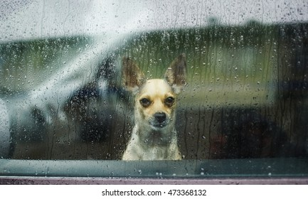 Chihuahua behind car window watching the rain. little dog looking through car glass on a rainy day. sad dog chihuahua waiting in a locked car their owners
