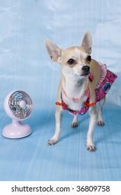 Sobre De Bikini Vectores ImágenesFotos Stock Chihuahua Y 8vO0wmNn