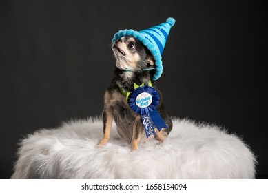 Chihuahua birthday party with candle and birthday cake. Funny dog with birthday hat.