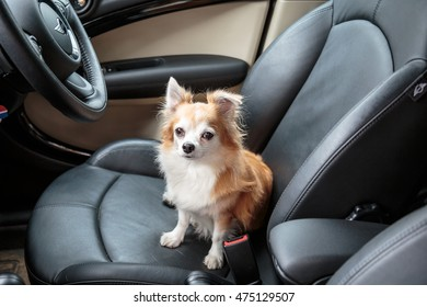 Chihuahua in the car