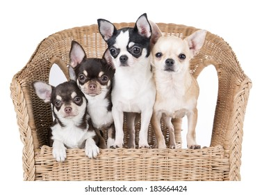 Chihuahua in a chair on a white background