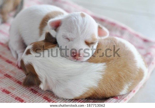 Chihuahua Chloe newborn. The puppies are  two weeks old in this picture.