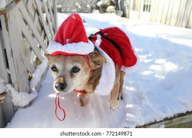 Chihuahua Claus in snow