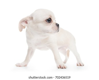 Chihuahua cobby type white purebred puppy. Isolated on white