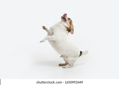 Chihuahua companion dog on the run. Cute playful creme brown doggy or pet playing isolated on white studio background. Concept of motion, action, movement, pets love. Looks happy, delighted, funny.