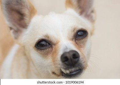 chihuahua with crooked teeth