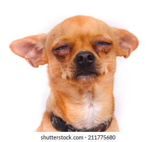 Chihuahua crying