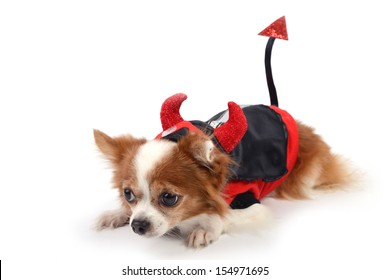 Chihuahua in devil suit lying on white background.