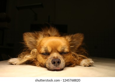 Chihuahua dog in anesthesia