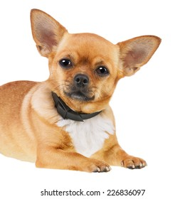 Chihuahua Dog in Anti Flea Collar Isolated on White Background. Closeup.