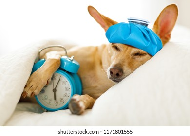 chihuahua dog in bed resting or sleeping , with alarm clock  feeling sick and ill with a hangover from last night