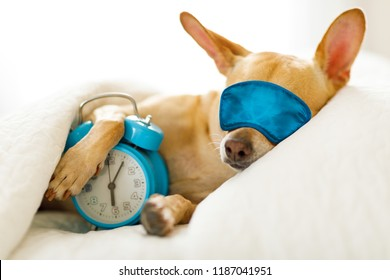 chihuahua dog in bed resting or sleeping , with alarm clock  ringing in  bedroom under the blanket , to early for wake and get up wearing sleeping mask