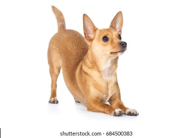 Chihuahua dog begging with buckle bows up