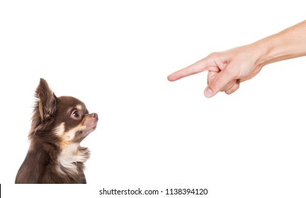 chihuahua dog being punished because of bad behavior by his owner, isolated on white background