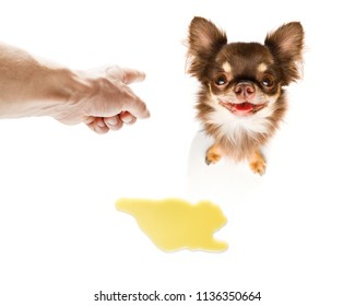 chihuahua dog being punished for urinate or pee  at home by his owner, isolated on white background