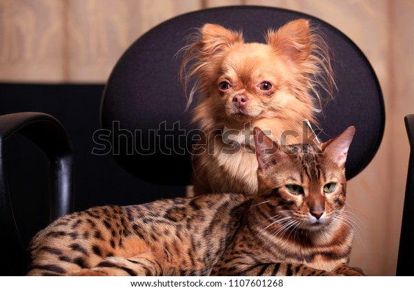 A Chihuahua dog and a Bengal cat sit side by side