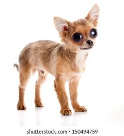 chihuahua dog with big eyes  isolated on white background.