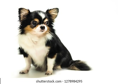 Chihuahua dog, black and white fur Cute fat body isolated on white background
