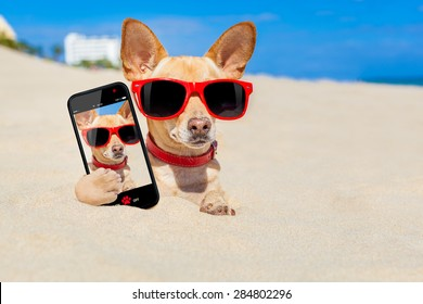 chihuahua dog  buried in a hole in  the sand at the beach on summer vacation holidays , wearing red sunglasses, while taking a selfie