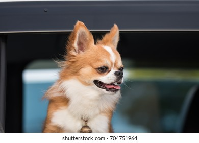 Chihuahua Dog in Car