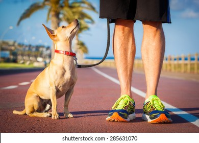 chihuahua dog close together to owner walking with leash outside at the park, dog looking up at owner