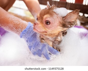 Chihuahua dog with Demodicosis take a shower, allergy dog skin