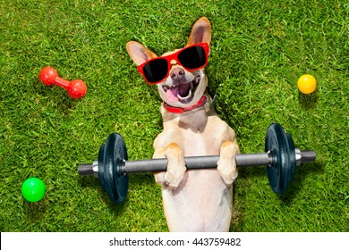 chihuahua dog doing and exercising sport with Dumbbell bar at park on meadow grass