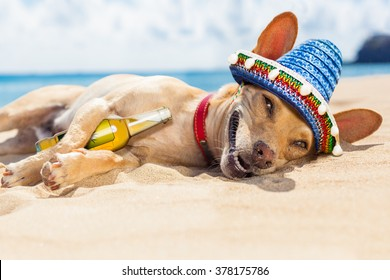 chihuahua dog drunk   on the beach with beer bottle on summer vacation holidays