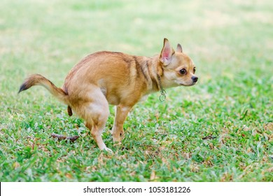 Chihuahua Dog Excrement