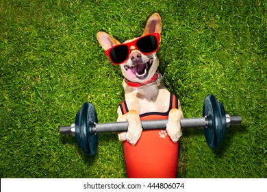 chihuahua dog exercising sport with Dumbbell bar in   park on meadow grass