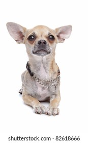 chihuahua dog in front of a white background