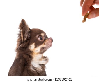 chihuahua dog getting a cookie as a treat for good behavior,isolated on white background