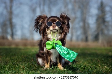 chihuahua dog in glasses holding waste bags