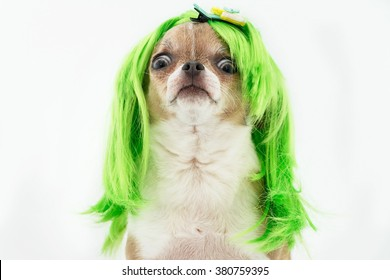 Chihuahua dog with green hair on the white background.