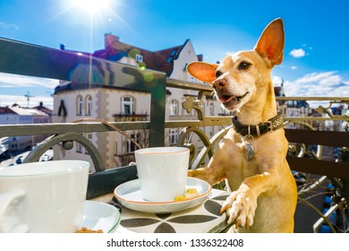 chihuahua dog having a coffee or tea break on balkony with cup and spoon on table , enjoying the nice weather in the sun