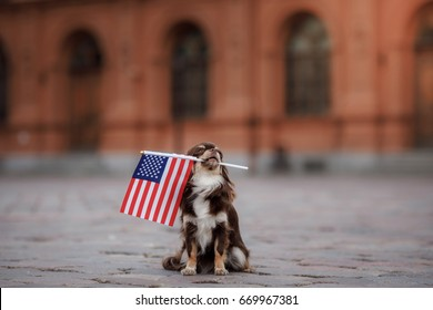 Chihuahua dog holding a flag of usa on independence day on 4th of july