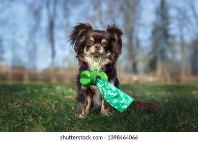 chihuahua dog holding waste bags in her mouth outdoors
