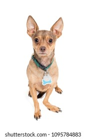 Chihuahua dog isolated against a white background